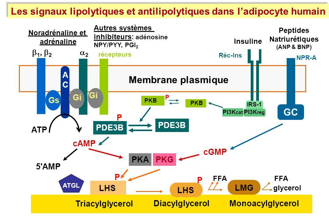 Les signaux lipolytiques et antilipolytiques dans l'adipocyte humain