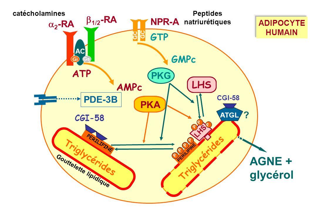 AGNE + glycérol ATP LHS AMPc PKA b1/2-RA NPR-A a2-RA GTP GMPc PKG