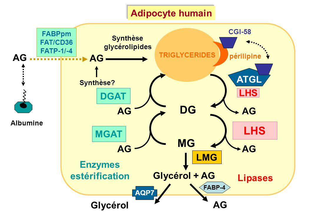 DG LHS MG Adipocyte humain AG ATGL DGAT MGAT LMG Enzymes