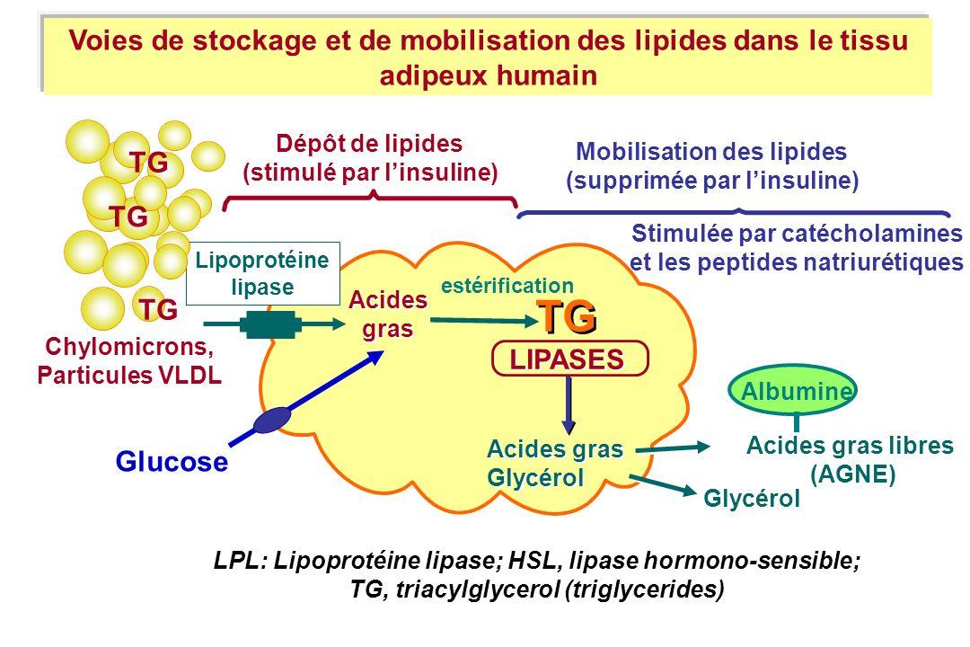 Acidesgras. TG. LIPASES. Acides gras. Glycérol. Acides gras libres. (AGNE) Albumine. Dépôt de lipides.