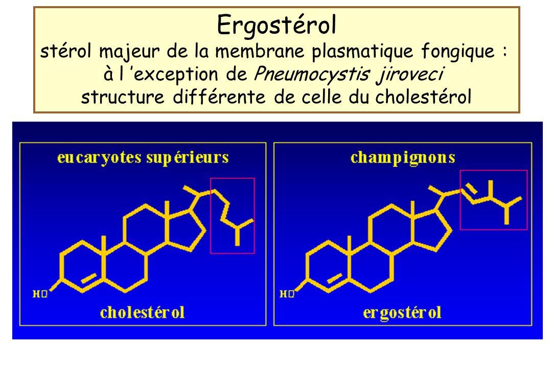 Ergostérol stérol majeur de la membrane plasmatique fongique :