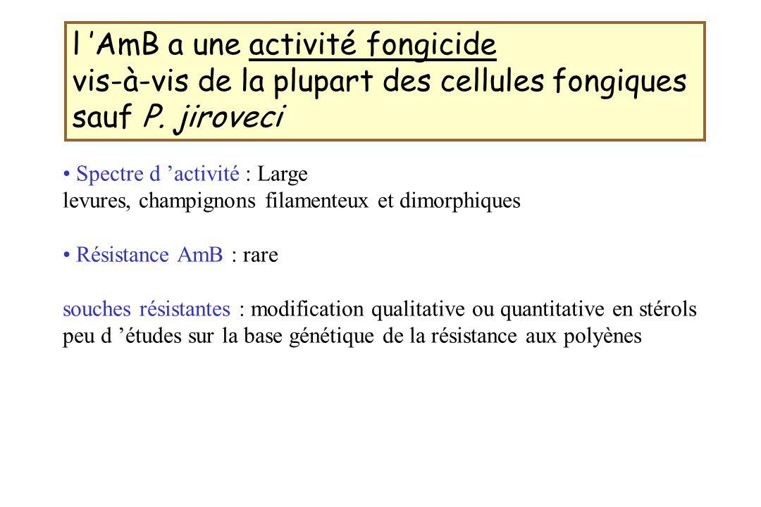 l 'AmB a une activité fongicide