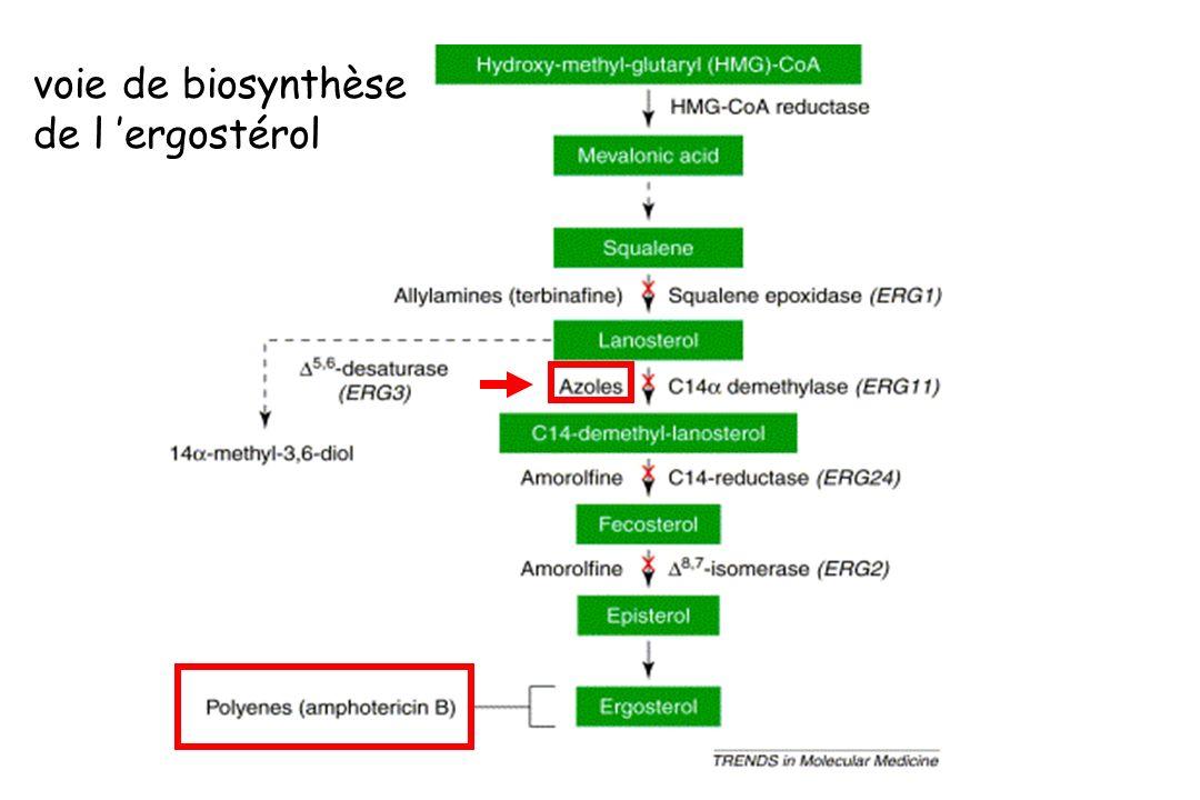 voie de biosynthèse de l 'ergostérol