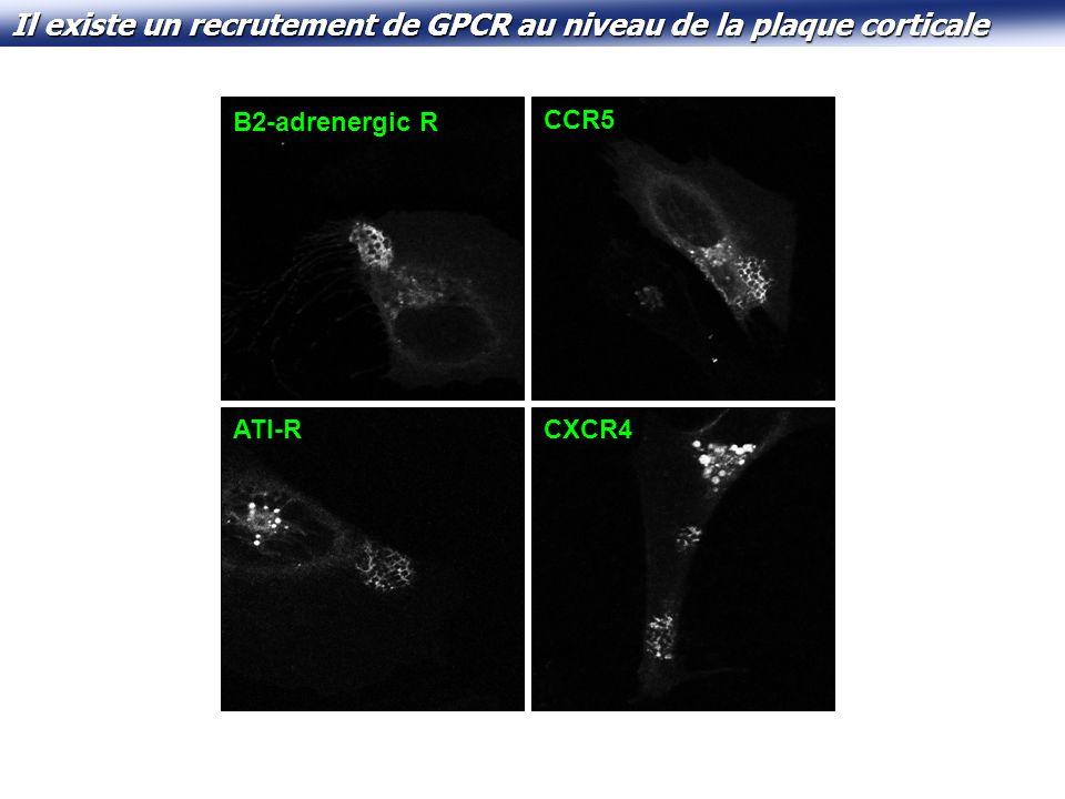Il existe un recrutement de GPCR au niveau de la plaque corticale