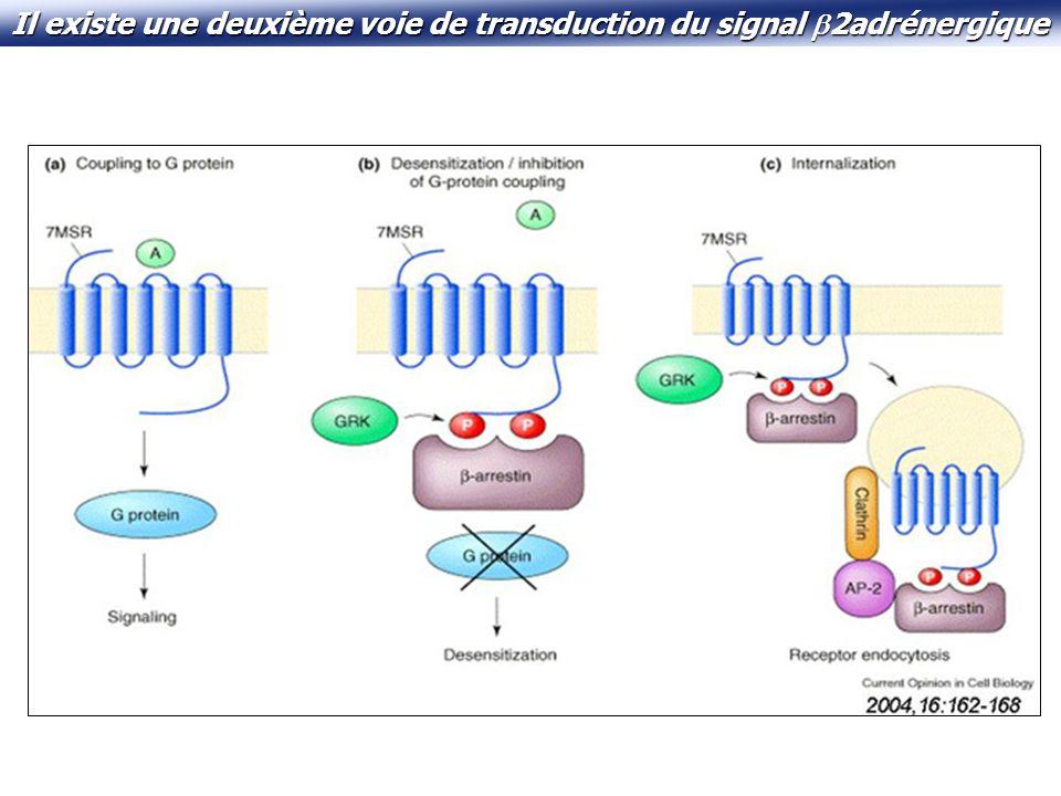 Il existe une deuxième voie de transduction du signal 2adrénergique