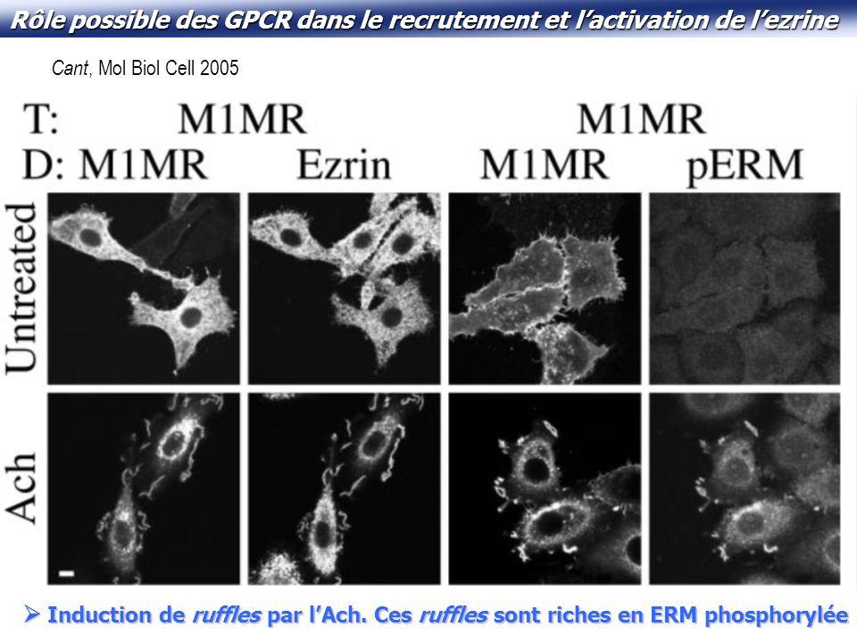Rôle possible des GPCR dans le recrutement et l'activation de l'ezrine