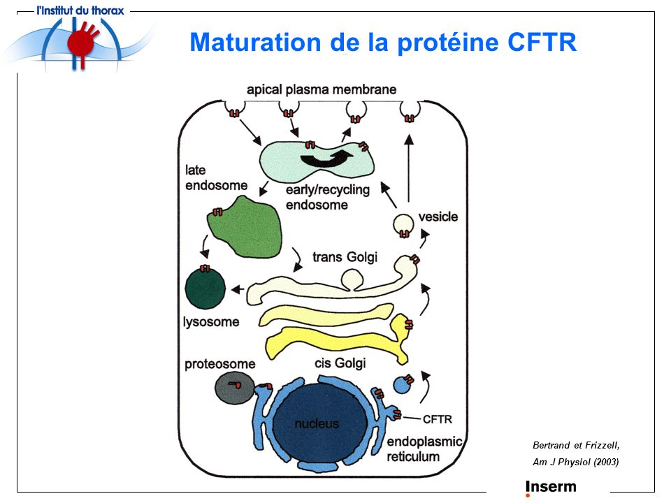Maturation de la protéine CFTR