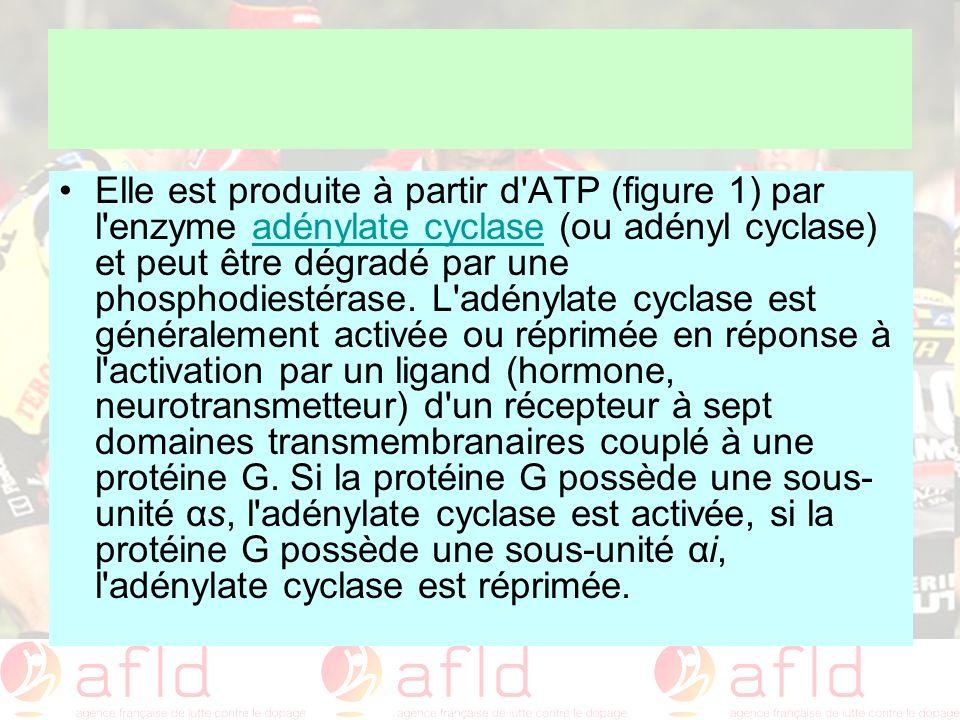Elle est produite à partir d ATP (figure 1) par l enzyme adénylate cyclase (ou adényl cyclase) et peut être dégradé par une phosphodiestérase.