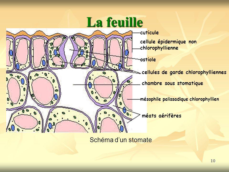 La feuille Schéma d'un stomate cuticule