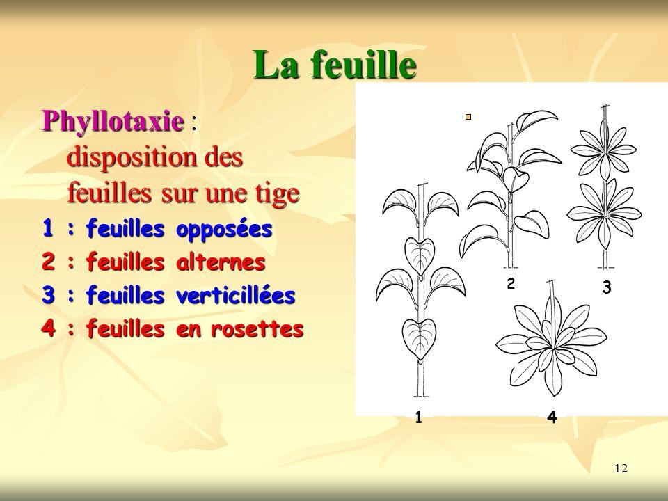 La feuille Phyllotaxie : disposition des feuilles sur une tige