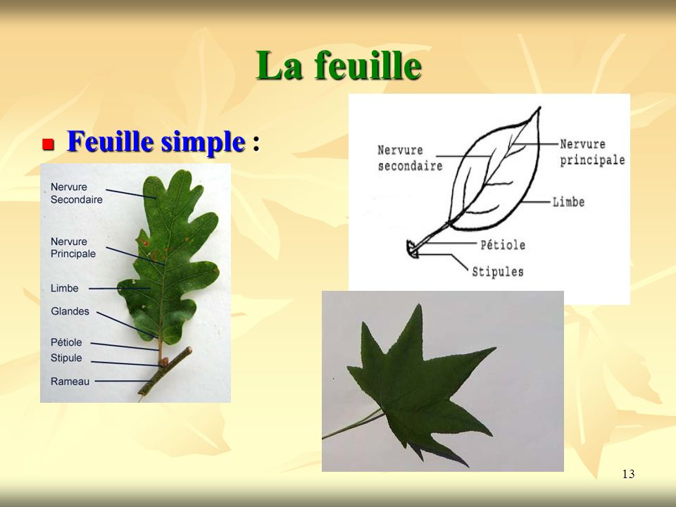 La feuille Feuille simple :