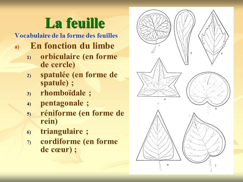 La feuille En fonction du limbe orbiculaire (en forme de cercle)