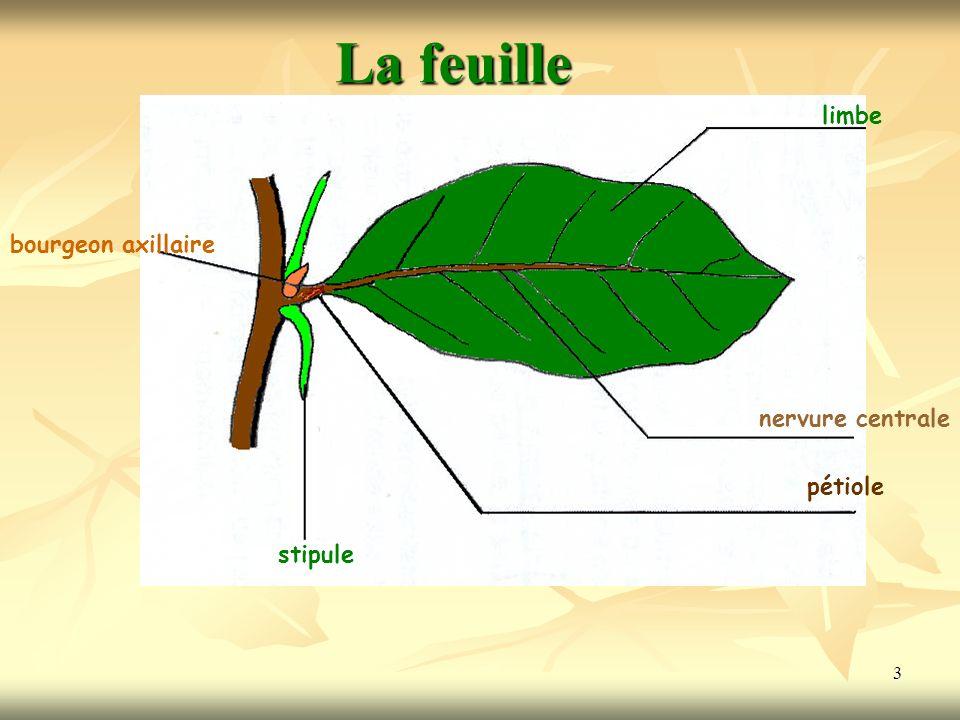 La feuille limbe bourgeon axillaire nervure centrale pétiole stipule