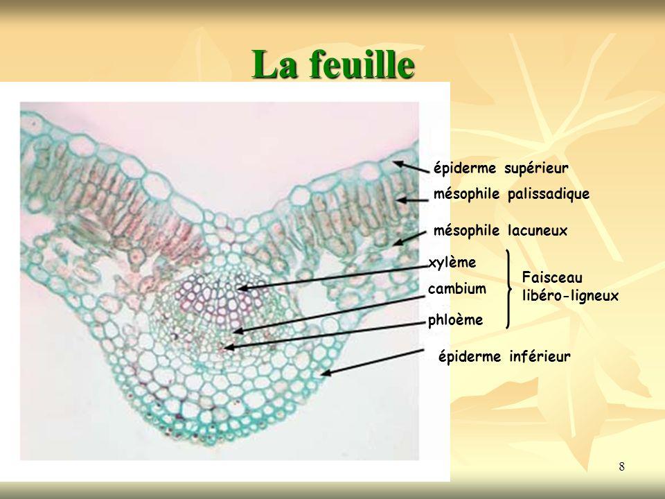 La feuille épiderme supérieur mésophile palissadique