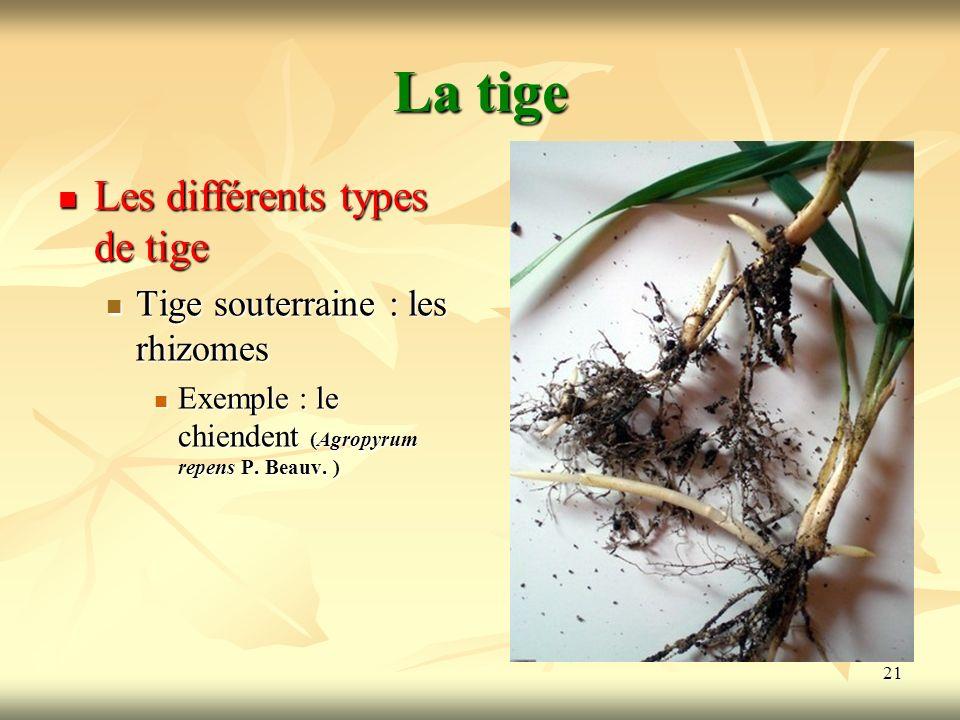 La tige Les différents types de tige Tige souterraine : les rhizomes