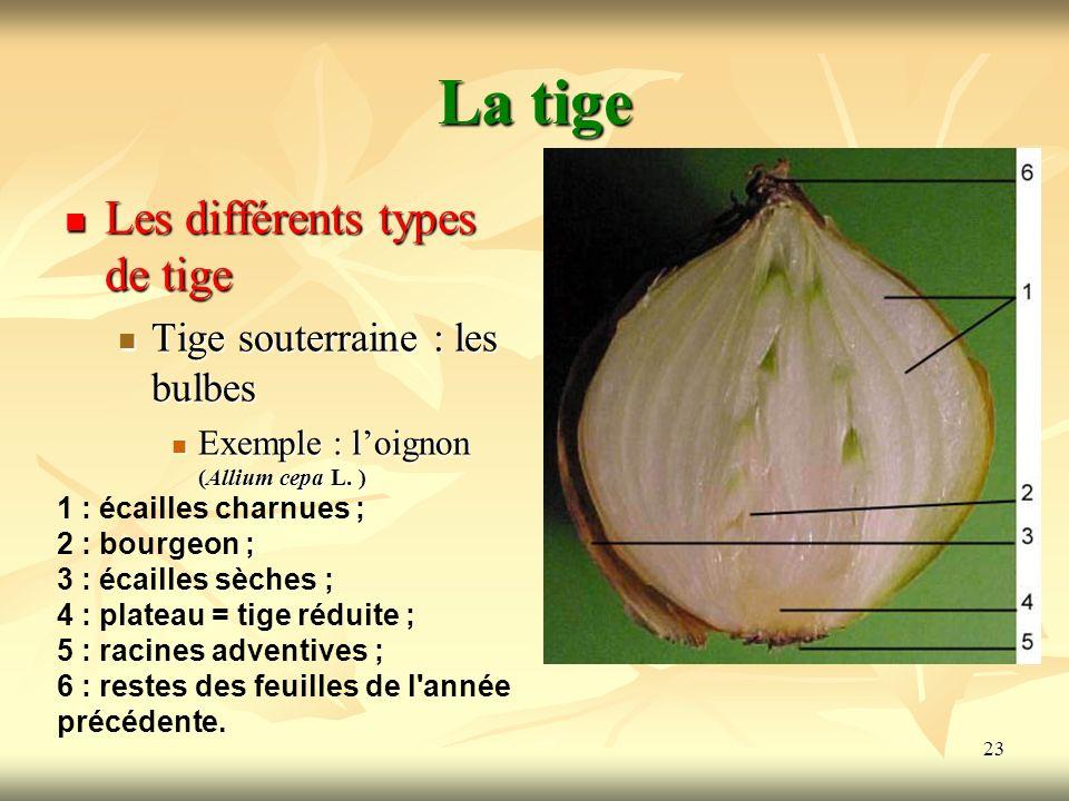 La tige Les différents types de tige Tige souterraine : les bulbes