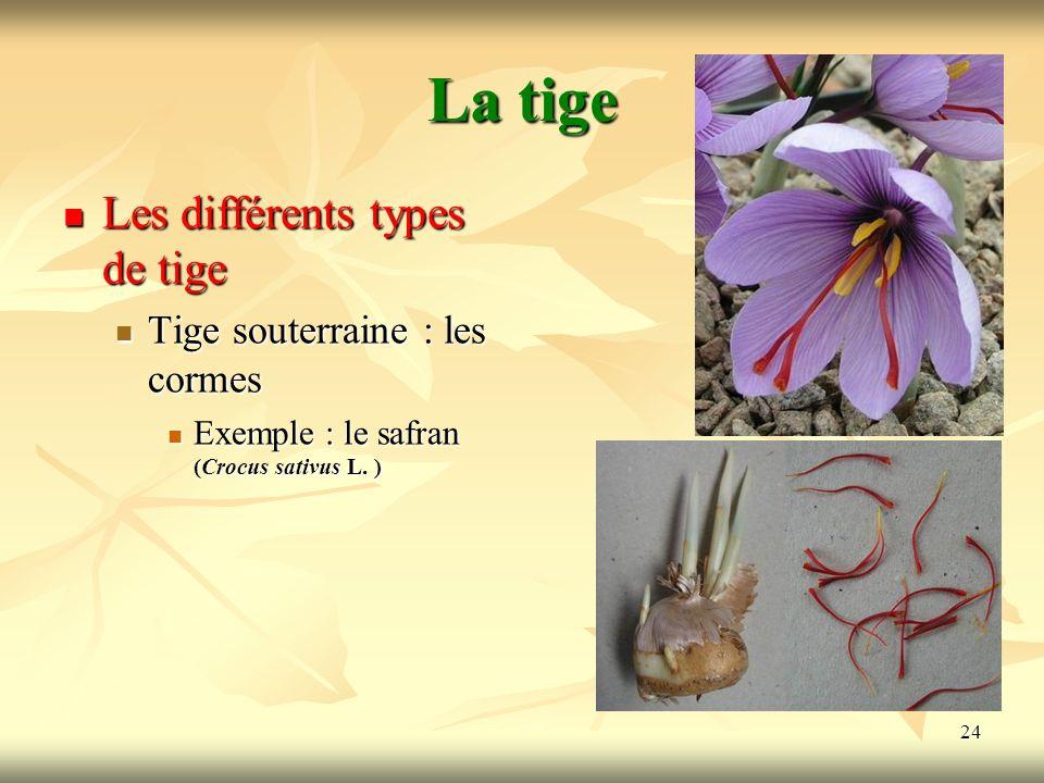 La tige Les différents types de tige Tige souterraine : les cormes