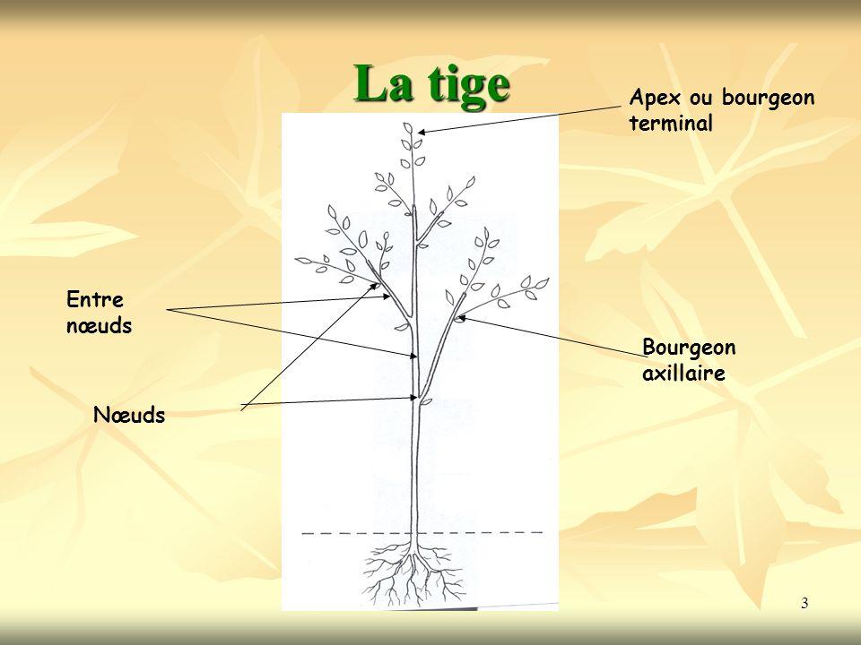 La tige Apex ou bourgeon terminal Entre nœuds Bourgeon axillaire Nœuds