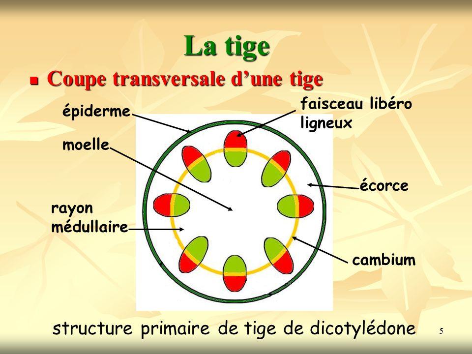 structure primaire de tige de dicotylédone