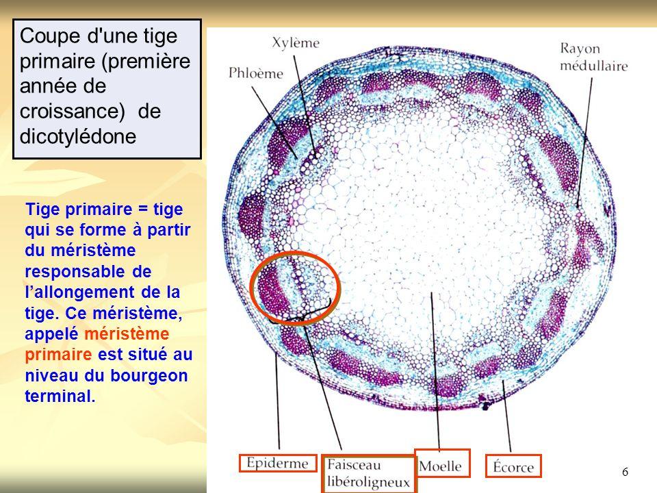Coupe d une tige primaire (première année de croissance) de dicotylédone