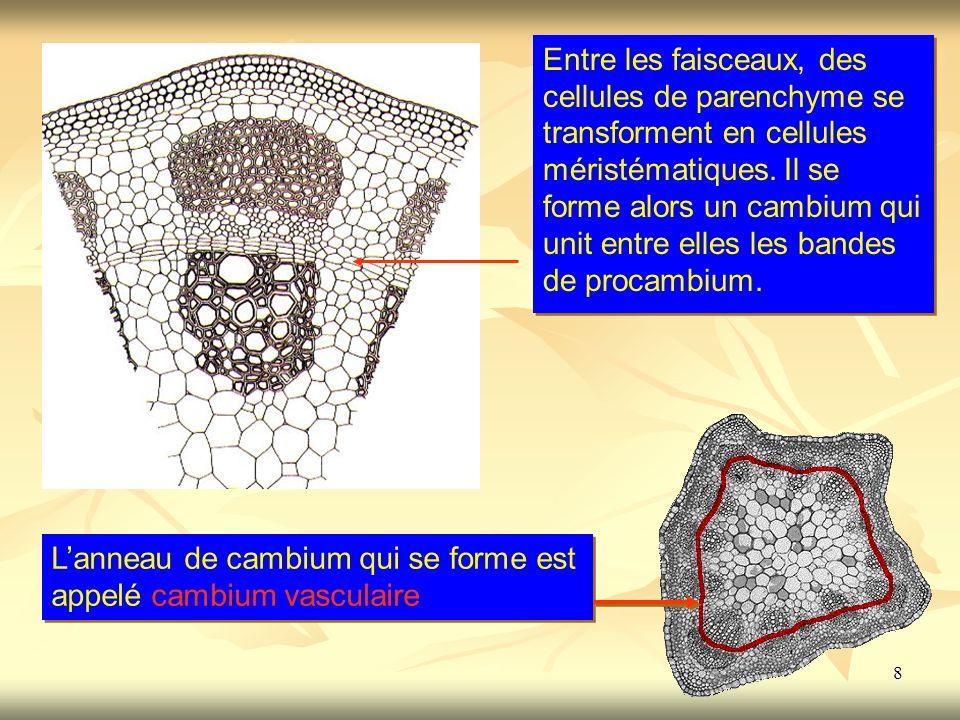 Entre les faisceaux, des cellules de parenchyme se transforment en cellules méristématiques. Il se forme alors un cambium qui unit entre elles les bandes de procambium.