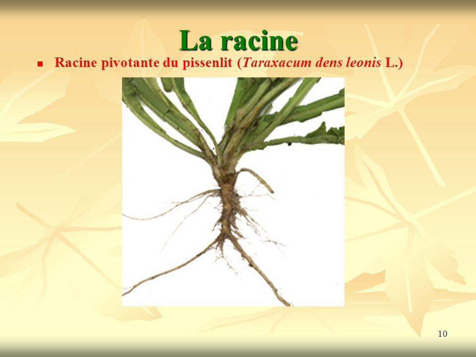La racine Racine pivotante du pissenlit (Taraxacum dens leonis L.)