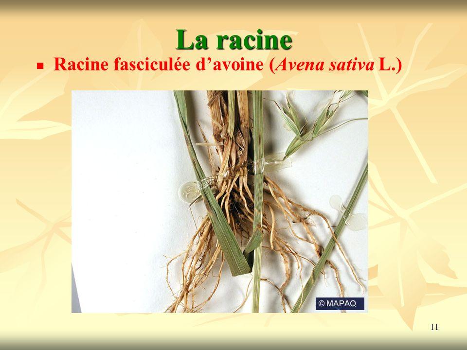La racine Racine fasciculée d'avoine (Avena sativa L.)