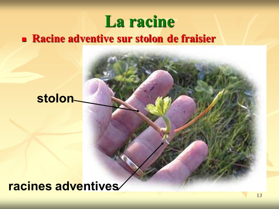La racine stolon racines adventives