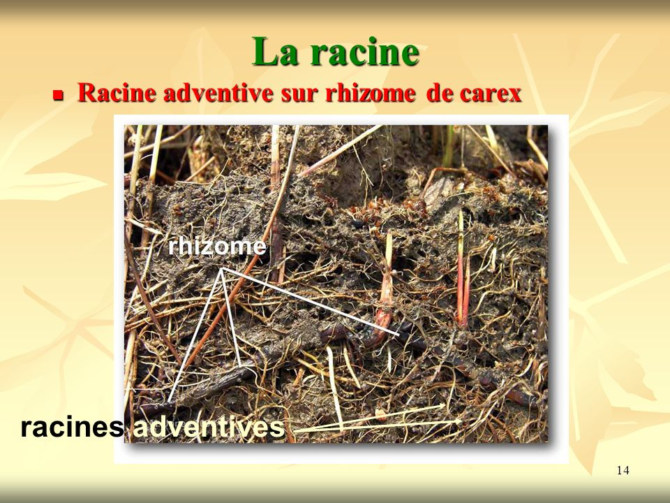La racine Racine adventive sur rhizome de carex racines adventives