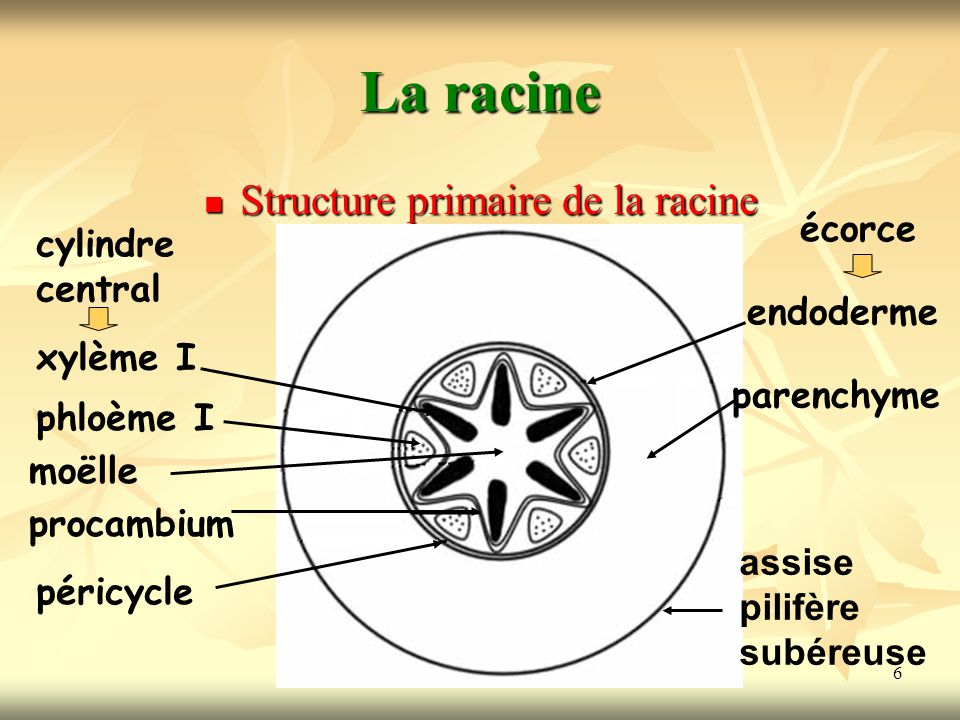 Structure primaire de la racine