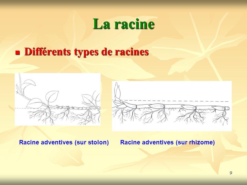La racine Différents types de racines Racine adventives (sur stolon)
