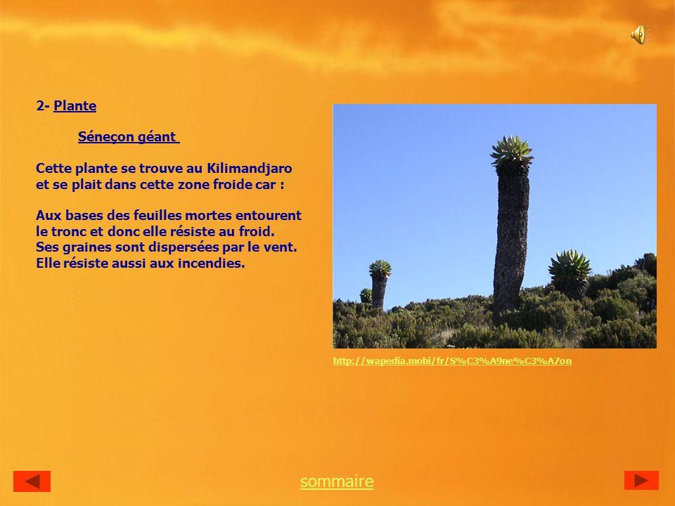 sommaire 2- Plante Séneçon géant