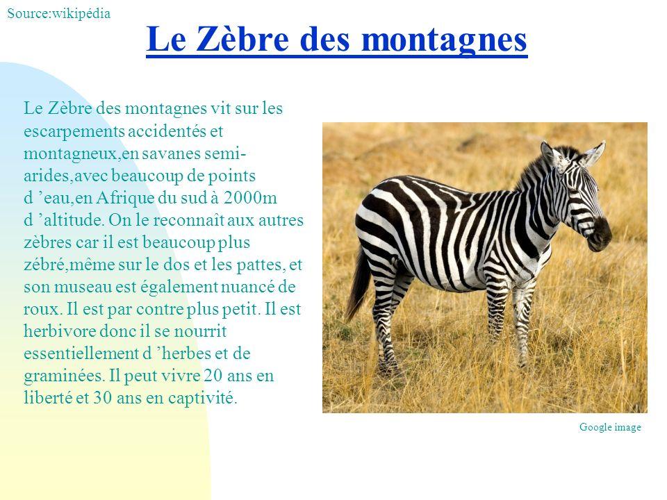 Source:wikipédia Le Zèbre des montagnes.
