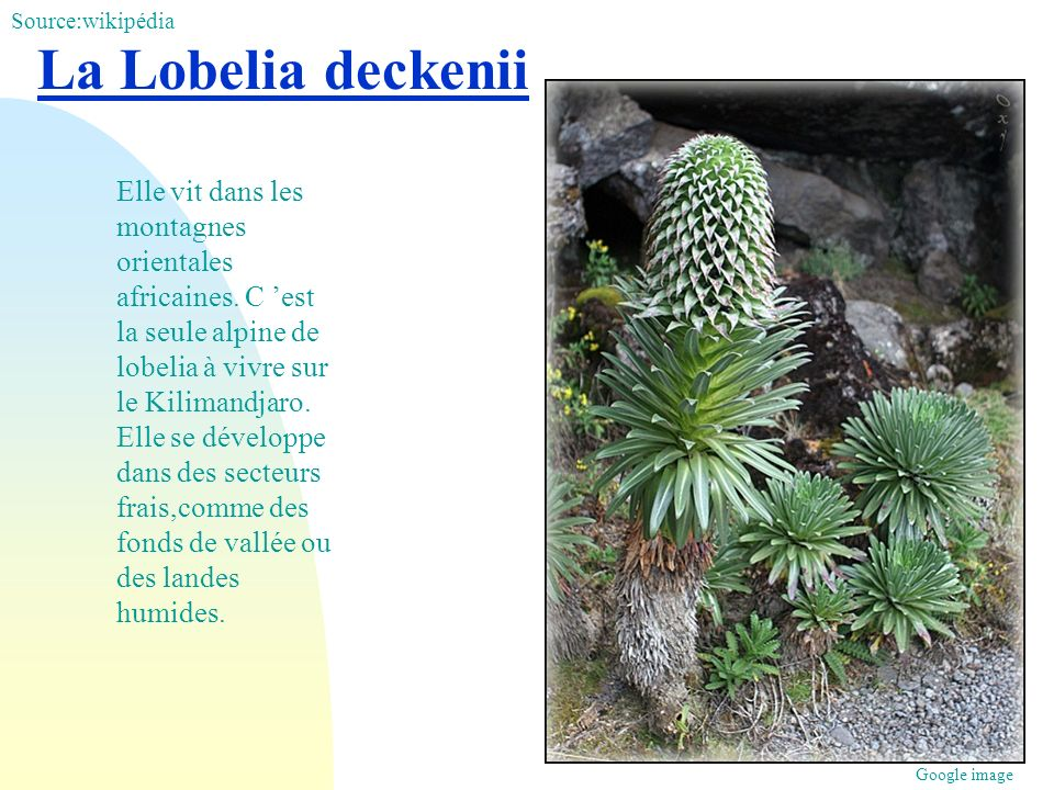 Source:wikipédia La Lobelia deckenii.