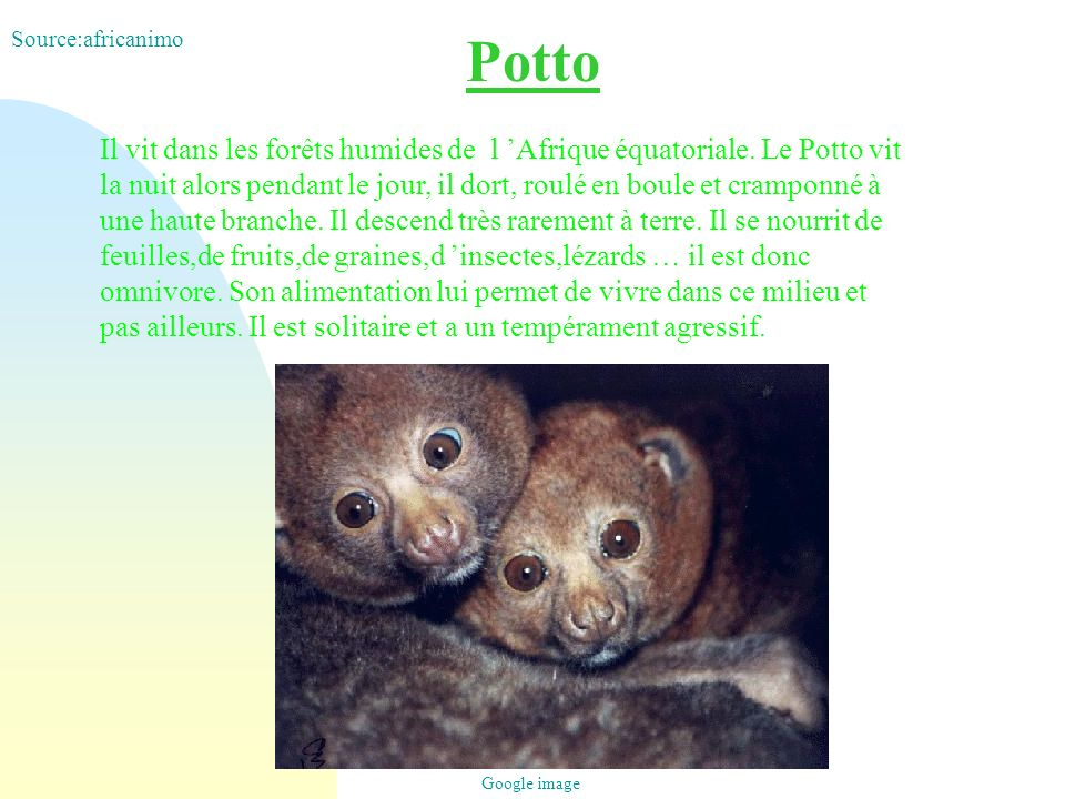 Source:africanimo Potto.