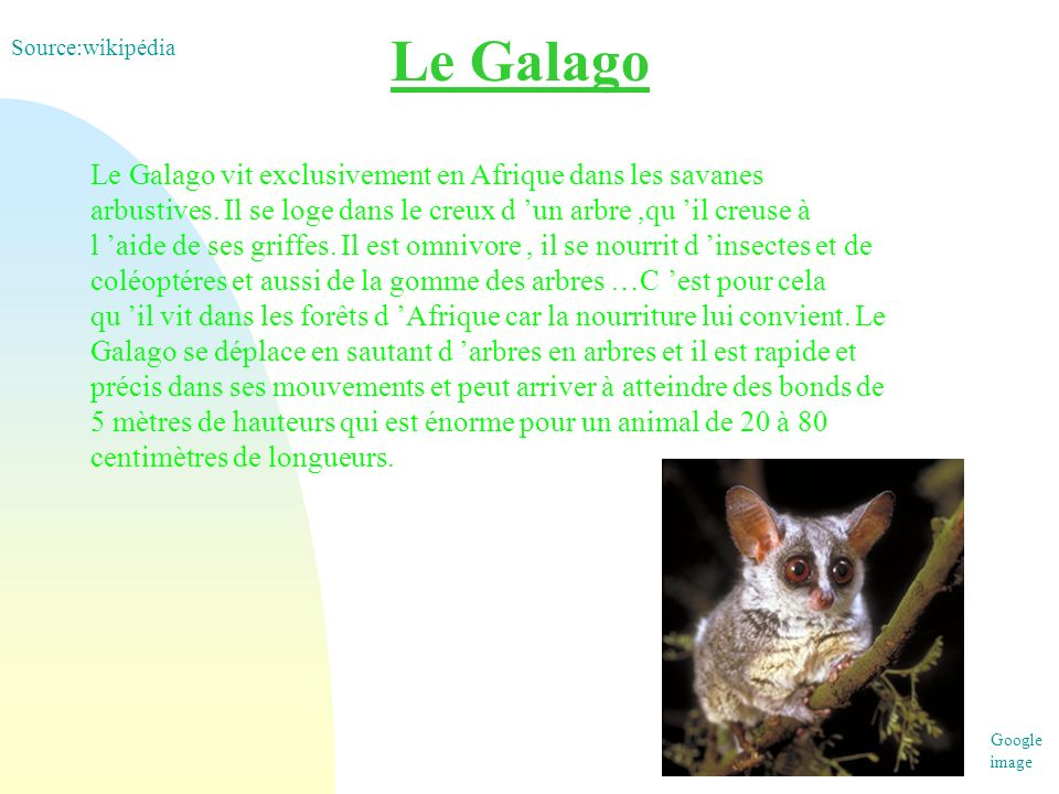 Le Galago Source:wikipédia.