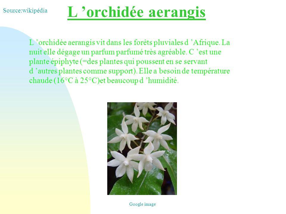 L 'orchidée aerangis Source:wikipédia.