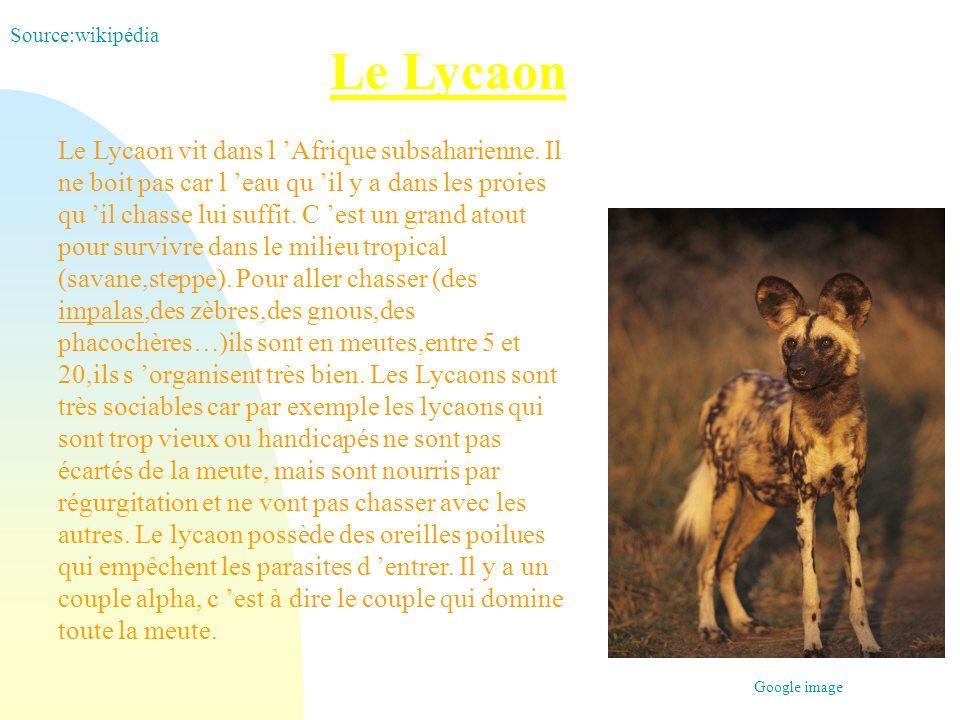 Source:wikipédia Le Lycaon.