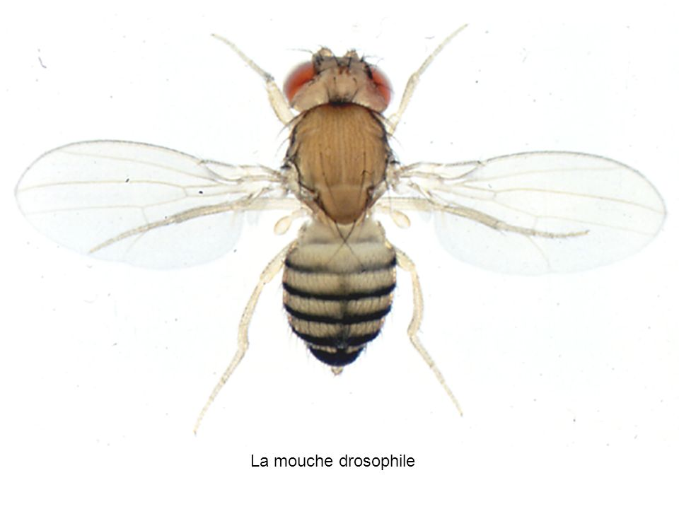 A5 La mouche drosophile