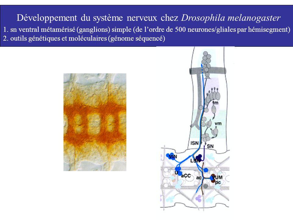 Développement du système nerveux chez Drosophila melanogaster