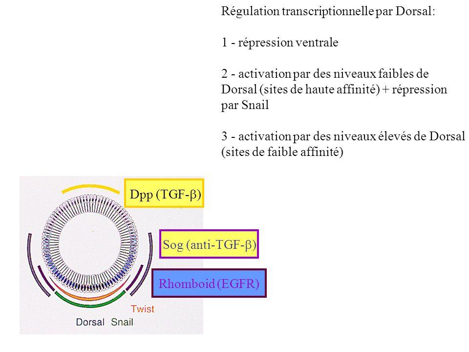Régulation transcriptionnelle par Dorsal: