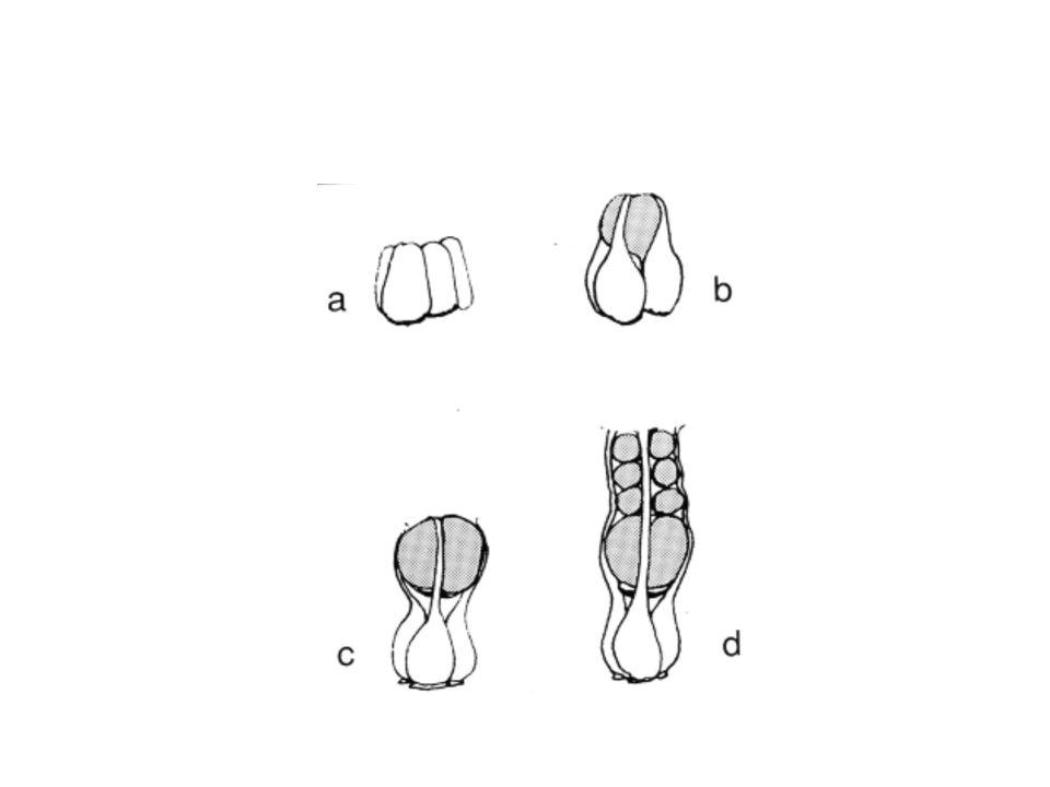 2. détermination des neuroblastes
