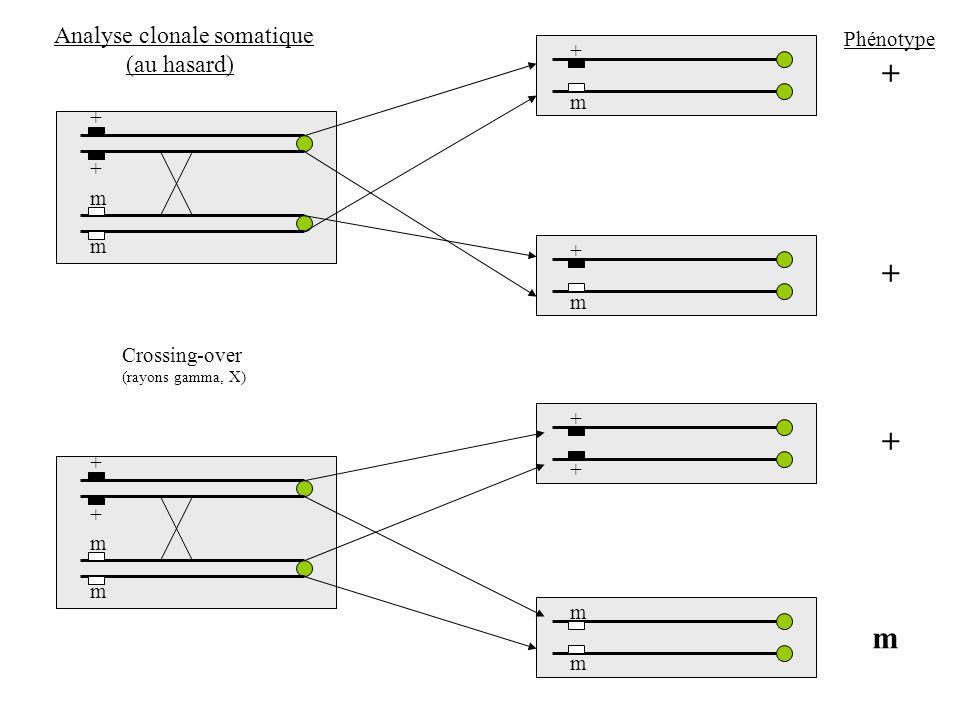+ + + m Analyse clonale somatique (au hasard) Phénotype + m + + m m +