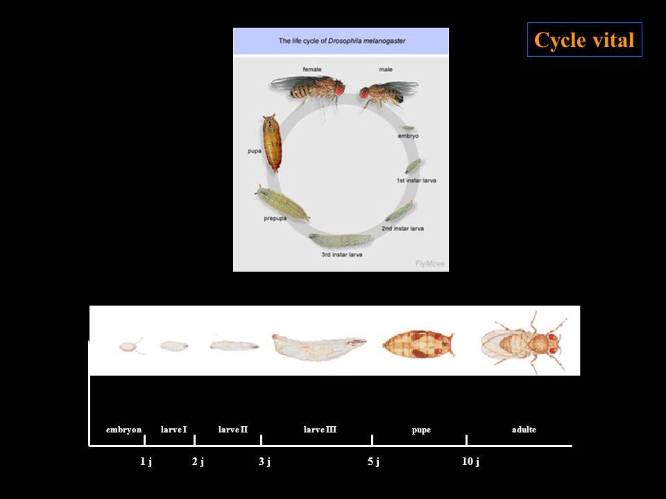 Cycle vital 1 j 2 j 3 j 5 j 10 j embryon larve I larve II larve III