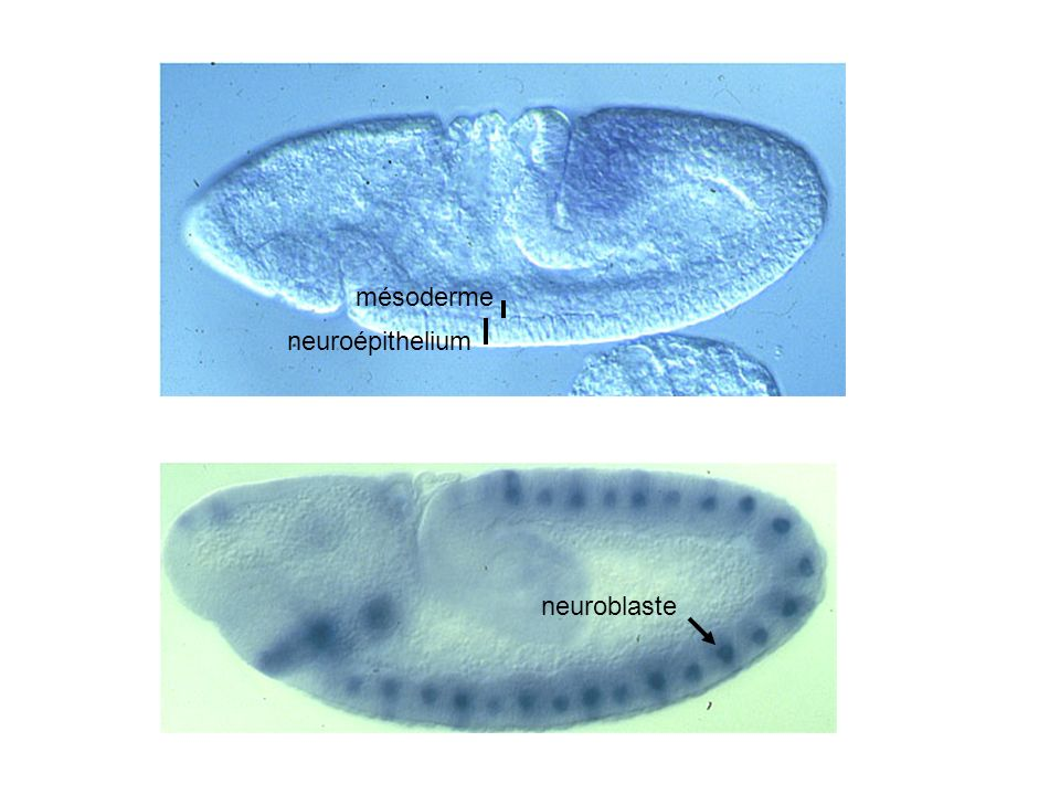 mésoderme neuroépithelium neuroblaste