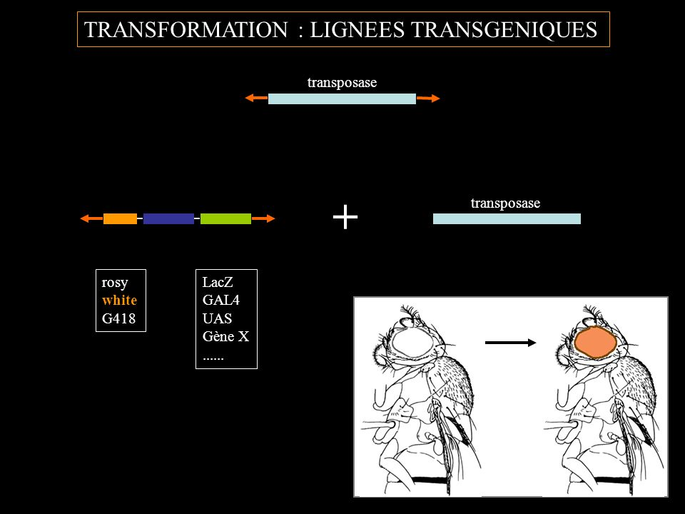 + TRANSFORMATION : LIGNEES TRANSGENIQUES transposase transposase rosy