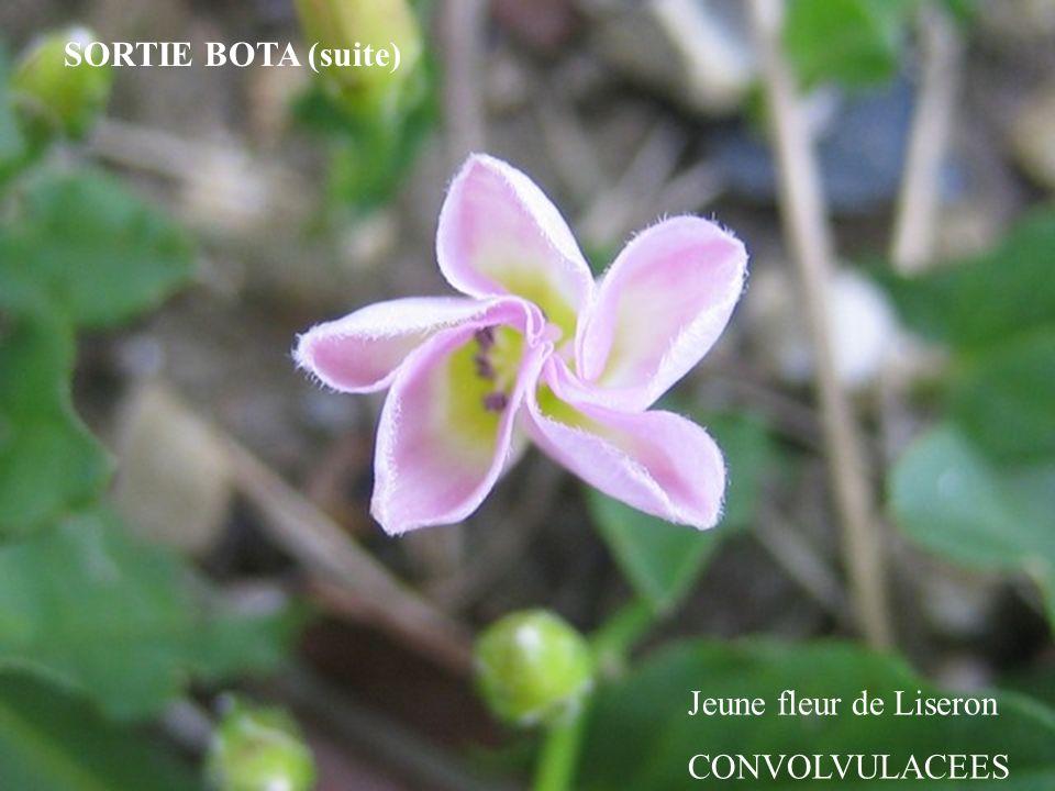 SORTIE BOTA (suite) Jeune fleur de Liseron CONVOLVULACEES