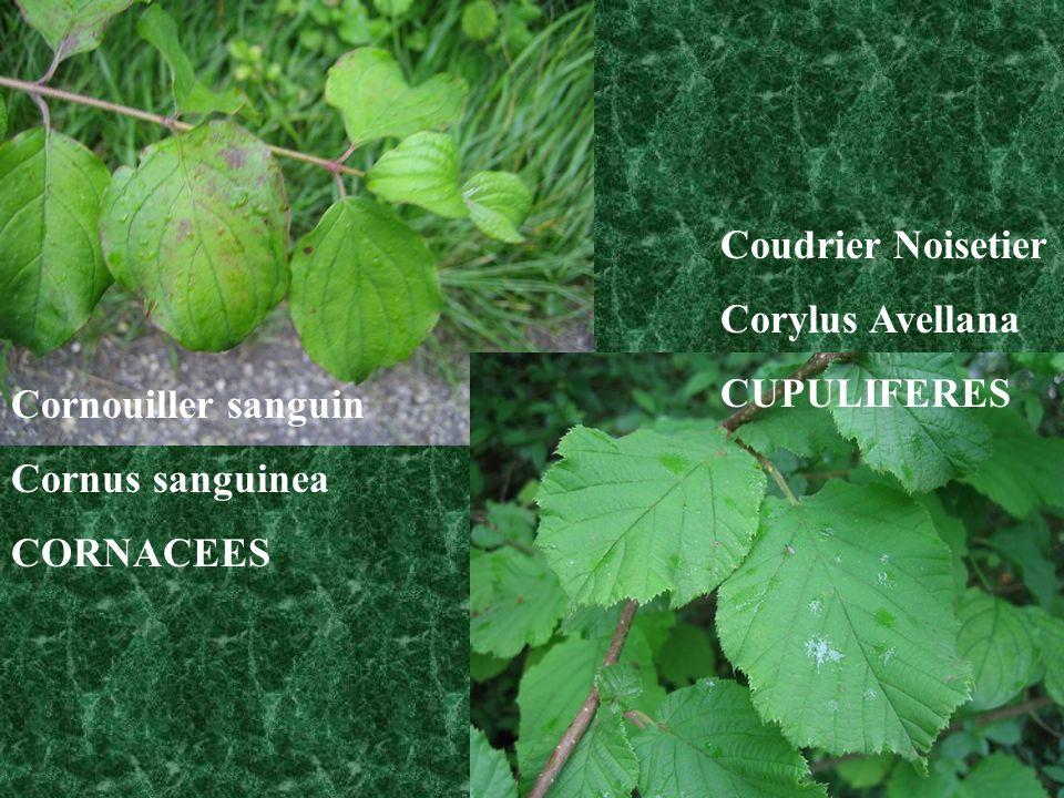 Coudrier Noisetier Corylus Avellana CUPULIFERES Cornouiller sanguin Cornus sanguinea CORNACEES