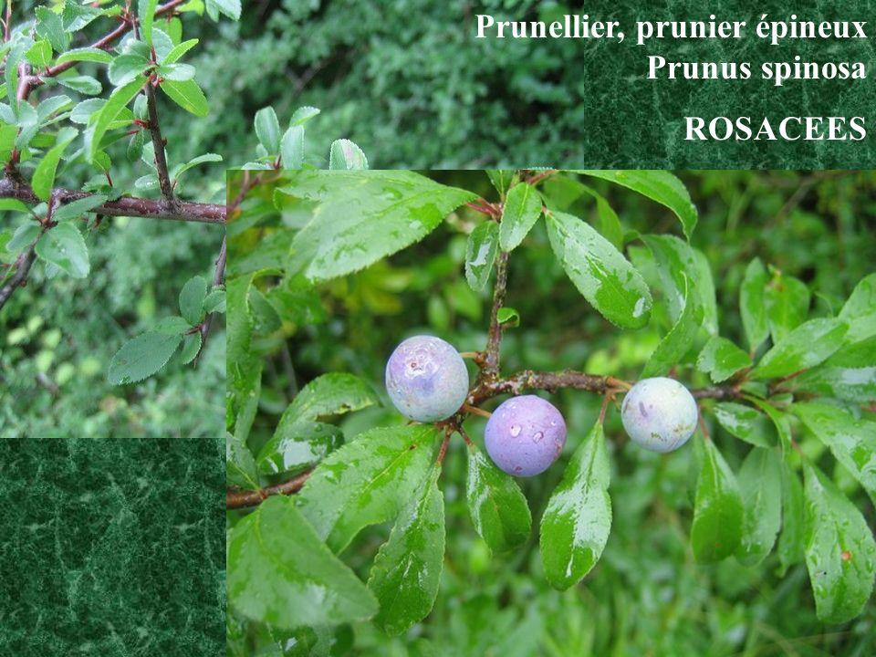 Prunellier, prunier épineux Prunus spinosa
