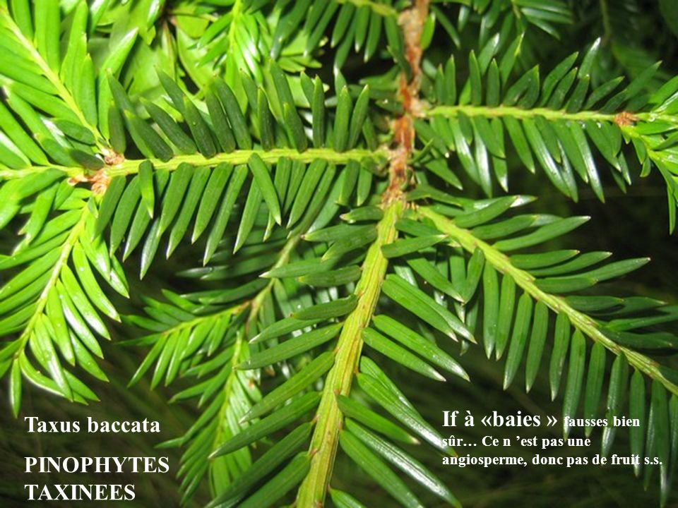 Taxus baccata PINOPHYTES TAXINEES.